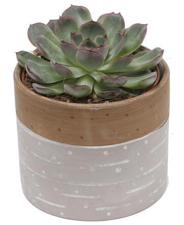 Hercules Succulent