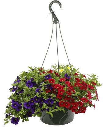 Hanging Basket, Calibrachoa